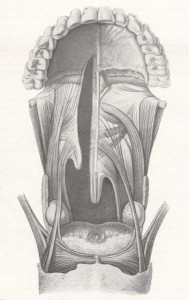 Diagram of the muscles of the soft palate, cleft side on the left